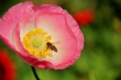 Las abejas están trabajando en la flor Fotografía de archivo
