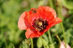 Las abejas están trabajando en la flor Foto de archivo
