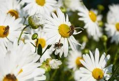 Las abejas están trabajando en las flores grandes de manzanillas Foto de archivo libre de regalías