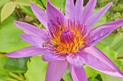 Las abejas guardan los pólenes de las flores violetas del lirio de agua Fotos de archivo libres de regalías