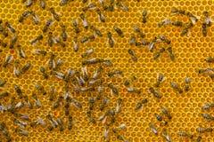 Las abejas jovenes convierten el néctar en la miel Fotografía de archivo libre de regalías