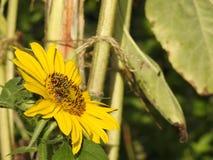 Las abejas les gustan las avispas que forrajean en girasoles del amor Imágenes de archivo libres de regalías