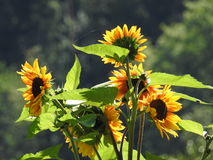 Las abejas les gustan las avispas que forrajean en girasoles del amor Fotografía de archivo libre de regalías