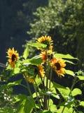 Las abejas les gustan las avispas que forrajean en girasoles del amor Imagen de archivo libre de regalías
