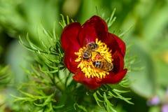 Las abejas polinizan las flores de la peonía con los pétalos rojos y yello grueso Foto de archivo libre de regalías