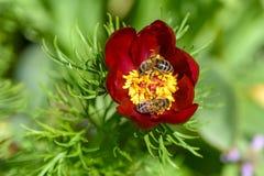 Las abejas polinizan las flores de la peonía con los pétalos rojos y yello grueso Fotos de archivo