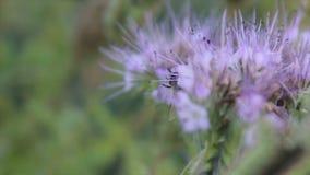Las abejas polinizan las flores del phacelia en el día de verano almacen de video