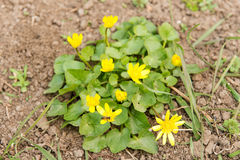 Las abejas polinizan la flor amarilla de la primavera Primaveras en el jardín ficaria amarillo del ranúnculo de la celidonia meno Foto de archivo libre de regalías