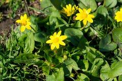 Las abejas polinizan la flor amarilla de la primavera Primaveras en el jardín ficaria amarillo del ranúnculo de la celidonia meno Fotografía de archivo