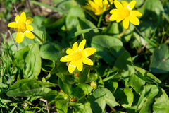Las abejas polinizan la flor amarilla de la primavera Primaveras en el jardín ficaria amarillo del ranúnculo de la celidonia meno Imágenes de archivo libres de regalías