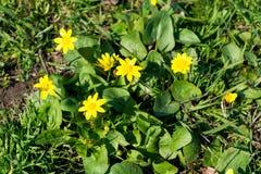 Las abejas polinizan la flor amarilla de la primavera Primaveras en el jardín ficaria amarillo del ranúnculo de la celidonia meno Fotografía de archivo libre de regalías