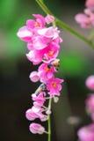 Las abejas polinizan la flor rosada Imagen de archivo libre de regalías