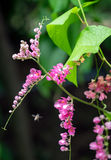 Las abejas polinizan la flor rosada Fotografía de archivo