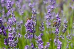 Las abejas polinizan la lavanda Fotografía de archivo
