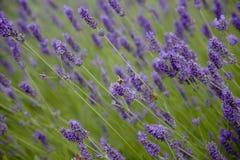 Las abejas polinizan las flores de la lavanda Imágenes de archivo libres de regalías