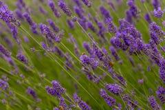 Las abejas polinizan las flores de la lavanda Imagen de archivo