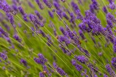 Las abejas polinizan las flores de la lavanda Foto de archivo libre de regalías