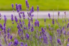 Las abejas polinizan las flores de la lavanda Fotos de archivo