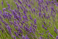 Las abejas polinizan las flores de la lavanda Imagen de archivo libre de regalías