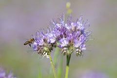 Las abejas polinizan las flores del phacelia Imagenes de archivo