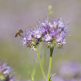 Las abejas polinizan las flores del phacelia Foto de archivo libre de regalías