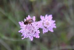 Las abejas polinizan las flores en el jardín Imagen de archivo libre de regalías