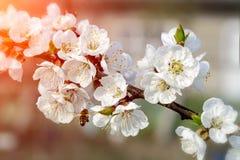 Las abejas polinizan las flores jovenes en el jardín, polinización hermosa del árbol de los árboles florecientes de la primavera  Fotografía de archivo libre de regalías
