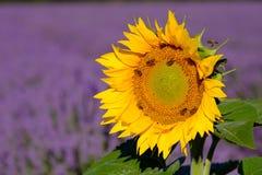 Las abejas polinizan los girasoles en un campo de la lavanda Imágenes de archivo libres de regalías