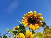 Las abejas polinizan verano del girasol imagenes de archivo