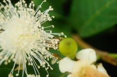 Las abejas ponen sus cabezas en las flores blancas y escogen la miel Fotos de archivo libres de regalías