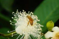 Las abejas ponen sus cabezas en las flores blancas y escogen la miel Foto de archivo libre de regalías