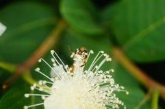 Las abejas ponen sus cabezas en las flores blancas y escogen la miel Fotos de archivo