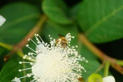 Las abejas ponen sus cabezas en las flores blancas y escogen la miel Imágenes de archivo libres de regalías