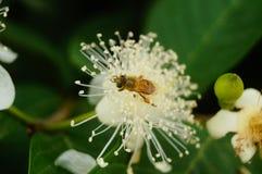 Las abejas ponen sus cabezas en las flores blancas y escogen la miel Imagenes de archivo