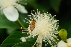 Las abejas ponen sus cabezas en las flores blancas y escogen la miel Imagen de archivo