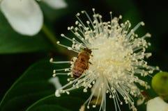 Las abejas ponen sus cabezas en las flores blancas y escogen la miel Fotografía de archivo