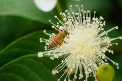 Las abejas ponen sus cabezas en las flores blancas y escogen la miel Foto de archivo