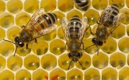 Las abejas producen la cera y construyen los panales de ella Imagenes de archivo