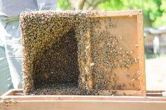 Las abejas pululan recogido a la caja especial del colmenar usada para el transporte Fotos de archivo