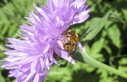 Las abejas que polinizan las flores Fotografía de archivo libre de regalías