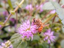 Las abejas que recolectan la miel en flores púrpuras Foto de archivo