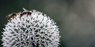 Las abejas recogen el néctar Fotos de archivo libres de regalías