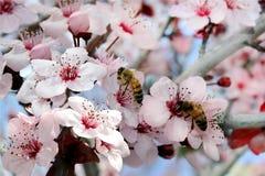 Las abejas recogen el néctar Fotografía de archivo