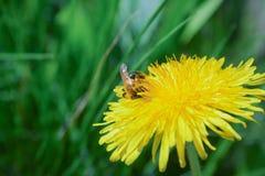 Las abejas recogen el néctar Foto de archivo