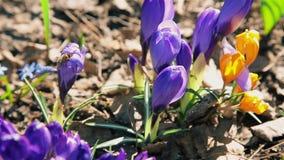 Las abejas recogen el néctar de las flores florecientes del azafrán azul en un claro del bosque metrajes