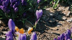 Las abejas recogen el néctar de las flores florecientes del azafrán azul en un claro HD 1920 del bosque almacen de video