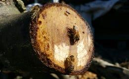 Las abejas recogen el néctar dulce en un corte de un árbol Fotos de archivo