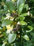 Las abejas recogen el néctar en árbol floreciente Imagen de archivo libre de regalías