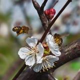 Las abejas recogen el néctar en las flores Imágenes de archivo libres de regalías