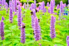 Las abejas recogen el néctar en el primer tibetano Agastach de Lofant de las flores Fotografía de archivo